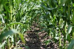 Dentro de um campo de milho Fotografia de Stock