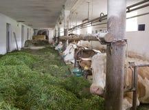 Dentro de um celeiro de vaca fotografia de stock royalty free