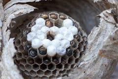 Dentro de um macro do ninho da vespa do revestimento amarelo Fotos de Stock Royalty Free