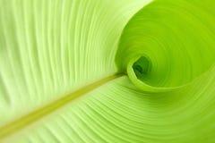Dentro de uma folha da banana Imagem de Stock Royalty Free