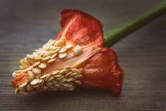 Dentro de uma pimenta vermelha doce Imagem de Stock
