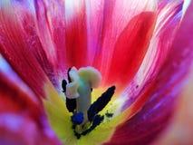 Dentro de uma tulipa vermelha imagem de stock