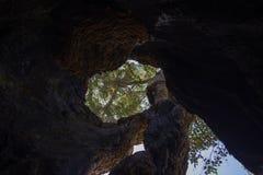 Dentro de un árbol hueco gigante del escozor Fotografía de archivo libre de regalías