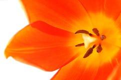 Dentro de un tulipán Fotos de archivo libres de regalías