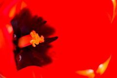 Dentro de un tulipán Fotografía de archivo libre de regalías