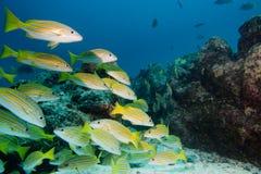 Dentro de una escuela de los pescados subacuáticos Imagenes de archivo