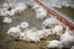 Dentro de una granja avícola Fotografía de archivo