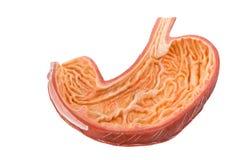 Dentro del modello umano artificiale degli intestini Immagini Stock Libere da Diritti