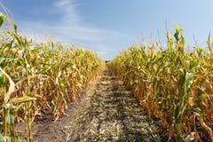 Dentro do campo de milho, fim do verão Fotos de Stock Royalty Free