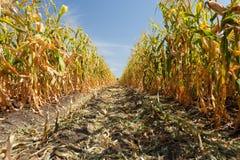 Dentro do campo de milho, fim do verão Imagem de Stock Royalty Free