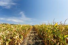 Dentro do campo de milho, fim do verão Imagem de Stock