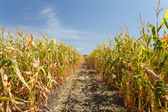 Dentro do campo de milho, fim do verão Fotografia de Stock Royalty Free