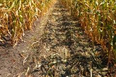 Dentro do campo de milho, fim do verão Imagens de Stock Royalty Free