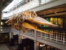 Dentro do museu de Manchester, Inglaterra do norte Foto de Stock Royalty Free