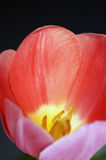 Dentro do tulip fotografia de stock royalty free
