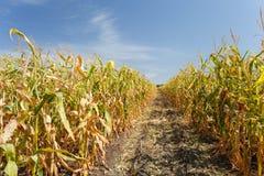 Dentro il campo di mais, conclusione di estate Fotografia Stock