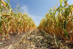 Dentro il campo di mais, conclusione di estate Immagine Stock