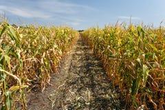 Dentro il campo di mais, conclusione di estate Immagini Stock Libere da Diritti