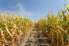 Dentro il campo di mais, conclusione di estate Fotografia Stock Libera da Diritti