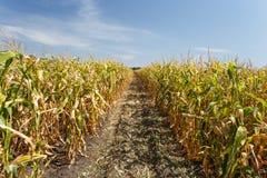 Dentro il campo di mais, conclusione di estate Immagini Stock