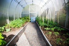 Dentro la serra verdure piantate e verdi Immagine Stock Libera da Diritti