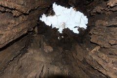 Dentro roto y hueco árbol de ortiga antiguo Imágenes de archivo libres de regalías
