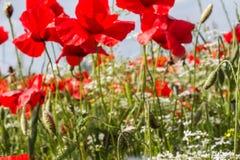 Dentro un campo dei papaveri di fioritura fotografia stock