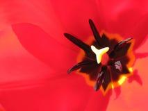 Dentro un tulipano Immagini Stock