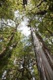 Dentro una foresta del larice al parco di Pumalin. Fotografia Stock