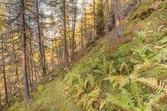 Dentro una foresta tipica dei larici nelle alpi italiane Immagine Stock