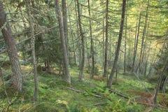 Dentro una foresta tipica dei larici nelle alpi italiane Fotografie Stock