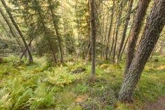 Dentro una foresta tipica dei larici nelle alpi italiane Immagini Stock Libere da Diritti
