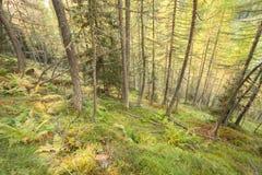 Dentro una foresta tipica dei larici nelle alpi italiane Fotografia Stock
