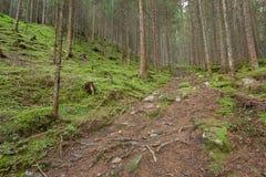 Dentro una foresta tipica delle alpi italiane Immagine Stock