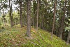 Dentro una foresta tipica delle alpi italiane Fotografie Stock