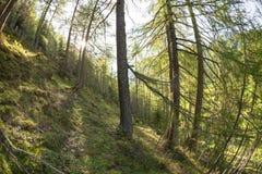 Dentro una foresta tipica delle alpi italiane Immagini Stock