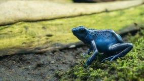 Dentrobates noirs et bleus de petite grenouille sur la mousse verte image libre de droits