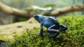 Dentrobates noirs et bleus de petite grenouille sur la mousse verte photos libres de droits