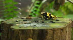 Dentrobates noirs et jaunes de petite grenouille sur un tronc d'arbre photographie stock