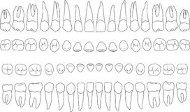 Dents anatomiquement correctes Photos stock
