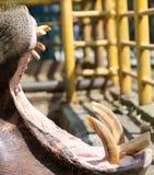 Dents d'hippopotame dans le zoo en nature Images stock