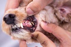 Dents de chien d'apparence de vétérinaire enduites de la plaque et du goudron photographie stock