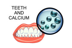 Dents et calcium sains Illustration Stock