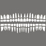 Dents et racines de dentition Images stock