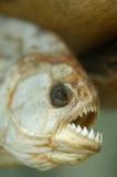 Dents mortes sèches de poissons de piranha Photographie stock libre de droits