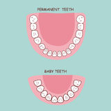 Dents permanentes et dents de lait illustration libre de droits
