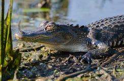 Dents plan rapproché, Savannah National Wildlife Refuge d'alligator photos stock