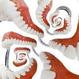 Denture Model Droste Stock Photos
