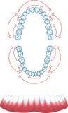 Dentures. Color, medical  illustration Stock Images