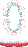 Dentures Stock Images